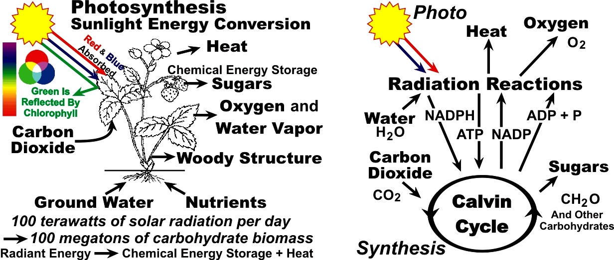 Photosynthesis - Sunlight Energy Conversion - Calvin Cycle