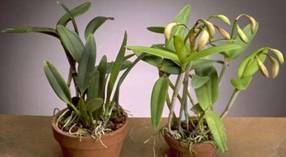 Two Orchids – Darker Plant One The Left Is Not Receiving Enough Light