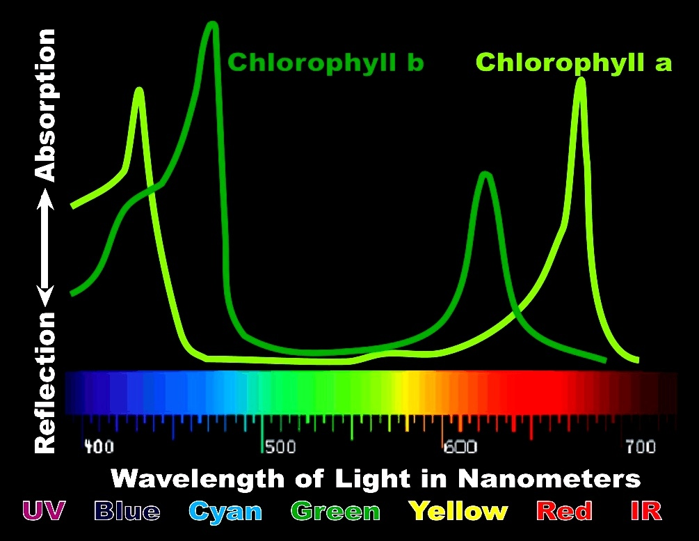 Spectral Analysis Of Chlorophyll a Versus Chlorophyll b – Wavelength in Nanometers